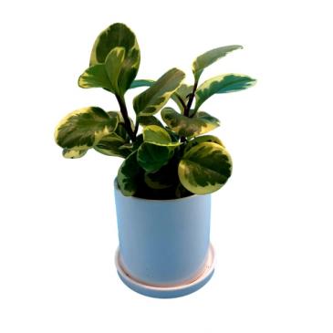 Peperomia Obtusifolia Variegata Houseplant
