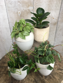 Peperomia Plants - Assorted Plant