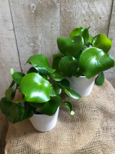 "Peperomia Raindrop 5"" Diameter Plant in Ceramic Pot"
