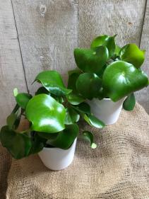"""Peperomia Raindrop 5"""" Diameter Plant in Ceramic Pot"""