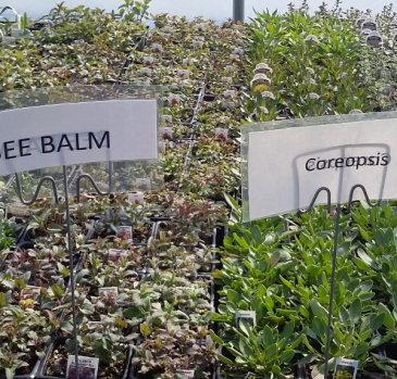 Bee Balm, Coreopsis Perennial - Full sun