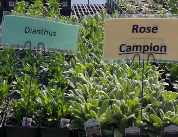 Dianthus, Rose Campion Perennial - Full sun