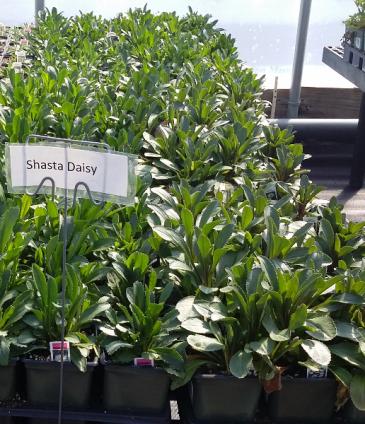 Shasta Daisy Perennial - Full sun