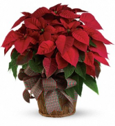 Perfect Poinsettia  Blooming Plant