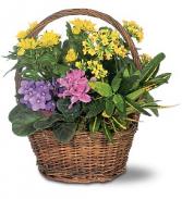 Petite European Basket plant
