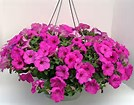 Petunia Hanging Basket  in Osceola Mills, PA | COLONIAL FLOWER & GIFT SHOP