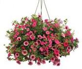 Petunia Hanging Basket Hanging Basket