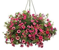 Petunia Hanging Basket Hanging Basket in Storrs, CT | THE FLOWER POT