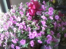 petunia hanging basket outdoor plant in Clio, MI | WILLOW COTTAGE FLOWERS AND GIFTS