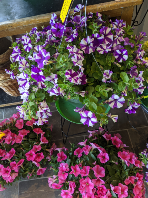 Petunia Hanging Basket Plant in Middletown, IN | The Flower Girl