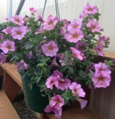 Petunia sensation  Outdoor hanging basket