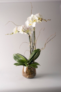 Phalaenophsis Orchid Double Bloom Decorated Plants