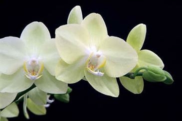 Phalaenopsis Orchid *call for colors available