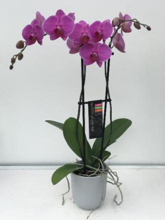 Phalaenopsis orchard plant
