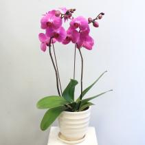 Phalaenopsis Orchid *Available in White/Lavender/Purple/ SUBJECT TO AVAILABILITY*