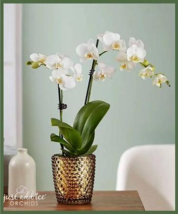 Phalaenopsis Orchid **SALE**