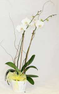 Phalaenopsis Orchid Blooming Plant in Saint Simons Island, GA | A COURTYARD FLORIST