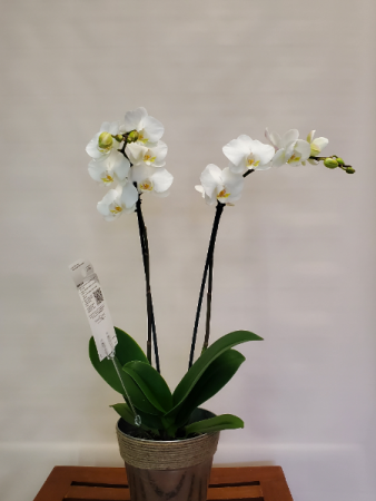 Phalaenopsis Orchid Blooming Plant