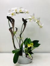 Phalaenopsis Orchid Dish Garden Dish Garden of Plants