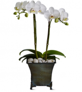 Phalaenopsis Orchid Flowering plant