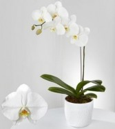 Phalaenopsis  Orchid Flowering Plants