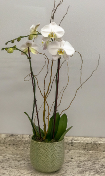 Phalaenopsis Orchid In Ceramic Container Blooming Plant