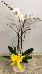 Phalaenopsis Orchid In Ceramic Container Plant