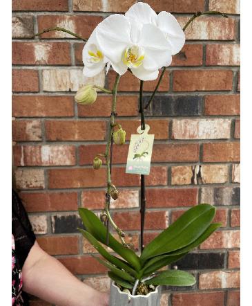 Phalaenopsis Orchid in Ceramic Planter