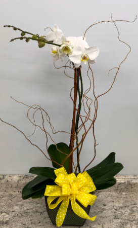 Phalaenopsis Orchid In Green Metal Container Plant