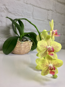 Phalaenopsis Orchid  in Sea Shell Pot