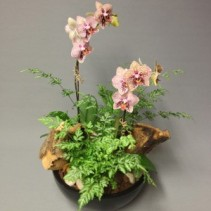 Phalaenopsis Orchid in Woodland Setting Dish Garden