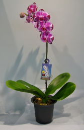 PHALAENOPSIS ORCHID Indoor Blooming Plant