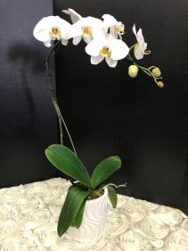 Phalaenopsis Orchid Orchi Plant