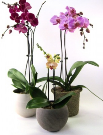 Phalaenopsis Orchid Orchid plant