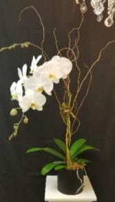 Phalaenopsis Orchid  Orchid Plant in Tampa, Florida | APPLE BLOSSOMS FLORAL DESIGN