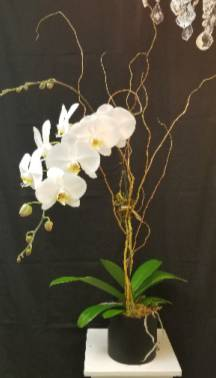Phalaenopsis Orchid   in Tampa, FL   APPLE BLOSSOMS FLORAL DESIGN