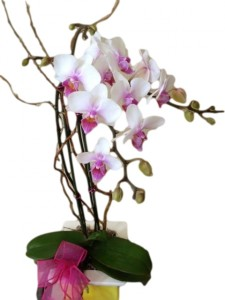 PHALAENOPSIS ORCHID  Plant in Riverside, CA | Willow Branch Florist of Riverside
