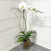 PHALAENOPSIS ORCHID PLANT ***LOCAL DELIVERY ONLY***