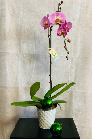 phalaenopsis orchid plant  in Airdrie, AB | Flower Whispers