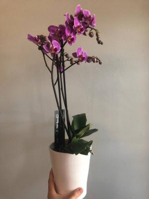 Phalaenopsis Orchid  Plant (Colour Varies) in Cambridge, ON | KELLY GREENS FLOWERS & GIFT SHOP