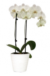 Phalaenopsis Orchid Plant White  Plant