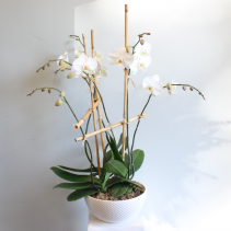 Phalaenopsis Orchid Planter LOCAL DELIVERY ONLY