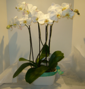 PHALAENOPSIS ORCHID PLANTER Blooming Plant
