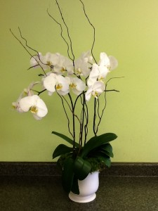 Phalaenopsis Orchid Planter Orchid Plant in Fairfield, CT | Blossoms at Dailey's Flower Shop