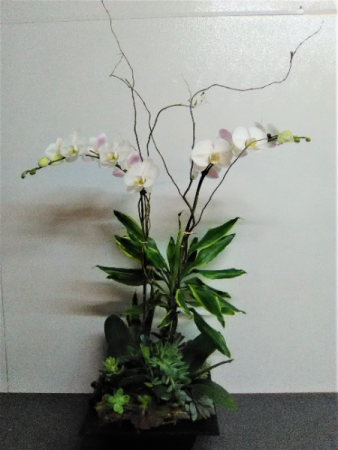 PHALAENOPSIS ORCHID PLANTS  SAME DAY DELIVERY