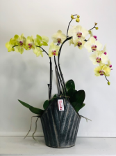 Phalaenopsis Orchids Blooming Plant