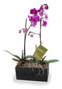 Phalaenopsis Orchids Two orchids in decorative wooden container