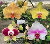 Phalaenopsis Plant, Hawaiian Grown in Bark Medium Orchid Plant in Pottery