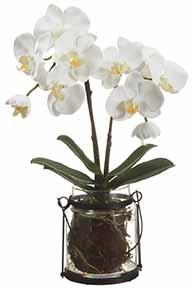 Phalaenopsis Plant-SILK BOTANICAL