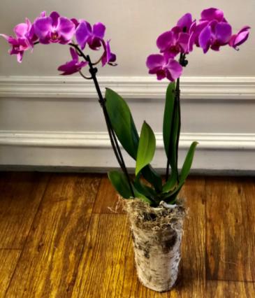 Phalaenopsis Purple or White Bloom